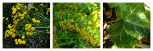 Tansy flowers, Goldenrod, Ivy